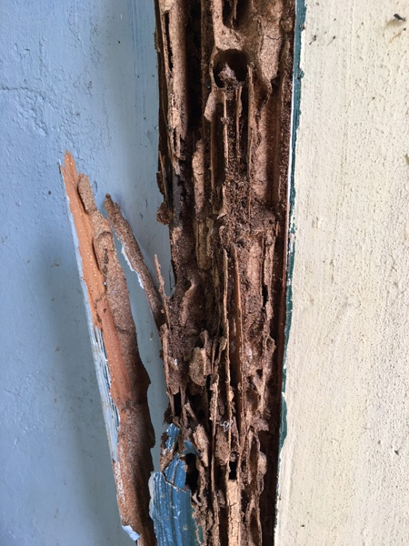 Door frame termites damage Jan 2018 for rabies website article