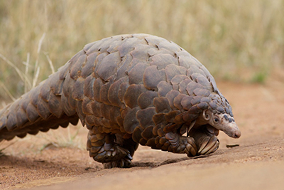 Pangolin wikimedia commons David Brossard temmincks ground Africa TRAIL 31
